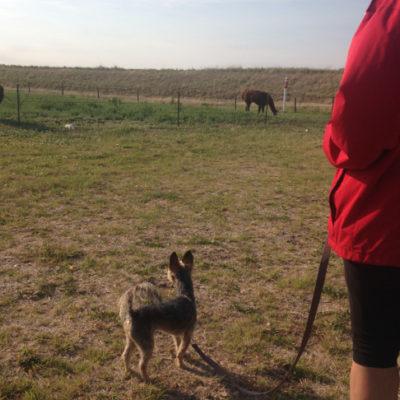 Peanut confronts the llamas, AOK RV park.